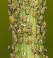 Aphids_feeding_on_fennel